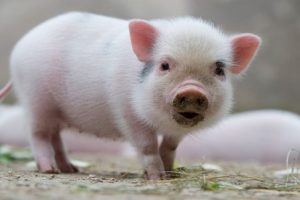 Blood samples of pigs test positive for JE virus