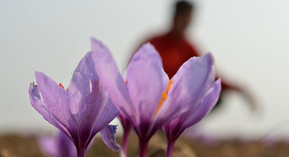 Saffron Trails