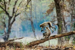No more a cool time for marauding monkeys in Shimla