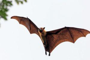 Brazilian free-tailed bat fastest flying mammal