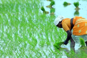 Rice farming in India much older than thought