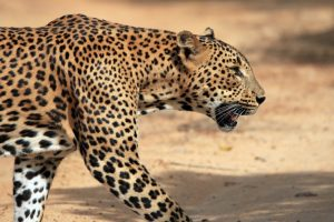 Leopard at Biodiversity Park living in small area, experts fear conflict