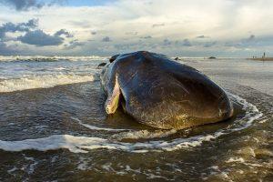 42-foot-long whale carcass found on Odisha beach