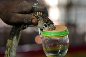 Cobra venom can help cure cancer