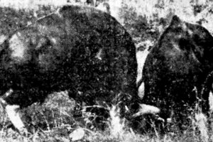 Gaur bulls with Roman noses