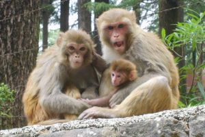 Nagaland govt rejects Himachal's request to translocate monkeys