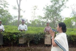 Mamata requests Centre,RBI to help Bengal tea garden workers
