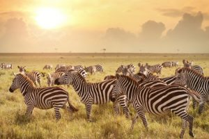 Zebras and other evolutionary conundrums