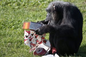 Christmas with the Chimps