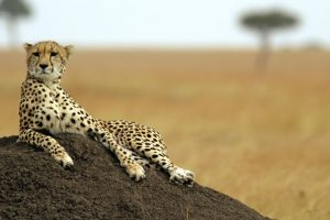 Cheetahs face extinction as global population crashes