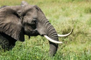 China to ban ivory trade by end of 2017
