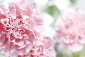 Carnation – the fairest of the season!