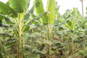 Banana plantation damaged in Odisha by elephants