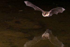 'Vampire bats suck human blood'