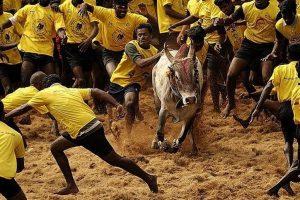 Taking Jallikattu bull by the horns