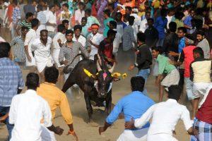 Massive protest in favour of Jallikattu in Madurai