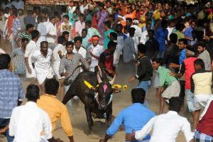 Jallikattu protests: HC declines to 'interfere'