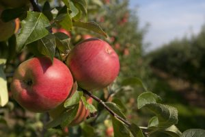 Himachal apples hold prosperity for farmers in Nepal