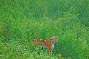 After 70-year absence, wild tigers to be reintroduced in Kazakhstan