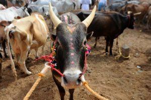 Tradition, culture or cruelty?