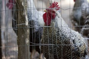 After hospitality, poultry sector to face the heat of liquor ban