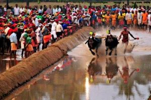 Protests against ban on Kambala intensify