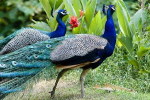 Clash over killing of peacock in Saharanpur