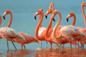 Why flamingos stand on one leg decoded