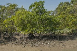 Civic engineer, 3 others booked for destroying mangroves