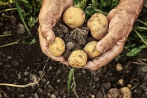 Bumper crop brings woes to potato growers in UP