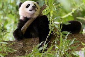 Washington zoo begins events to send off giant panda