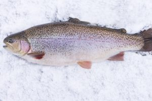 Himachal to develop technology on snow trout breeding