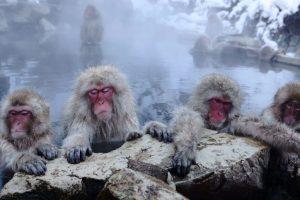 Japan zoo culls 57 monkeys carrying 'invasive' genes