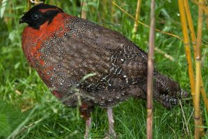 Himachal saves brilliantly plumaged western tragopan from extinction