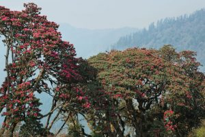 Early flowering of rhododendrons signals climate change in Uttarakhand