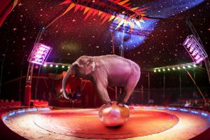 Central Zoo Authority for ban on elephants in circuses