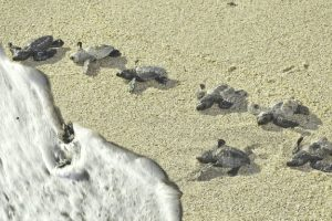 Tagged Olive Ridley turtles come back for nesting in Odisha