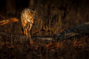 Camera-traps shed light on Asiatic wild dogs range of movement