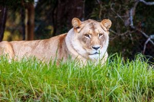 Uncertainty continues over MP getting lions from Gujarat