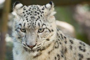 Snow leopard forgotten on World Wildlife Day