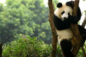 China plans to set up massive panda preserve