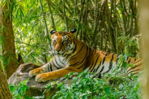 Royal Bengal Tigers to roar in HP