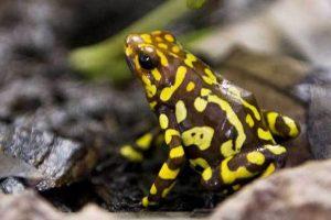 New frog species named after David Attenborough