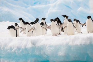Antarctica home to millions more penguins than thought