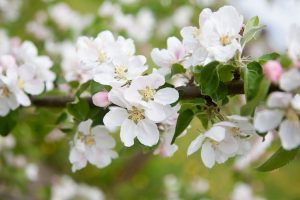 Apple blossom bliss in the hills