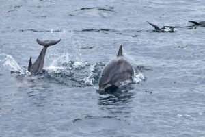 Experts track gangetic dolphins in highly polluted areas of Hooghly