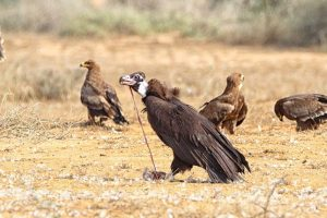 Migratory vultures gaining resistance to bacteria