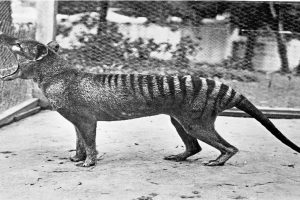Return of the Tasmanian tiger?