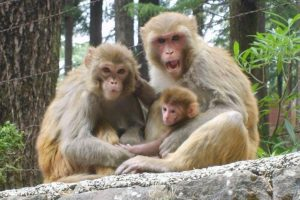 UP: Man stoned to death by monkeys, family wants police to file FIR