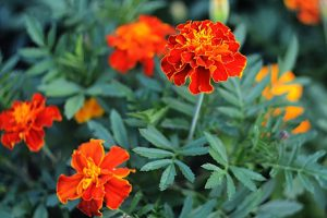 Health benefits of marigold